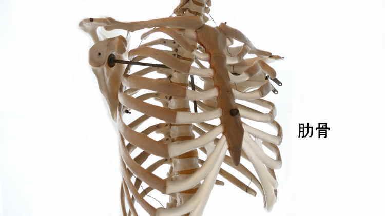 人間の肋骨の数