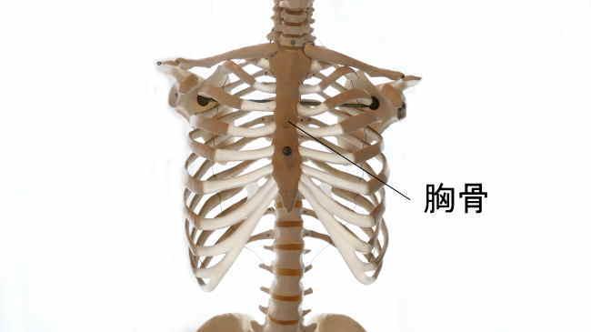 胸郭を構成する胸骨