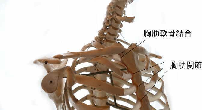 胸骨と肋骨の関節