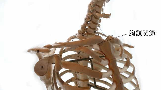 胸骨と鎖骨の胸鎖関節