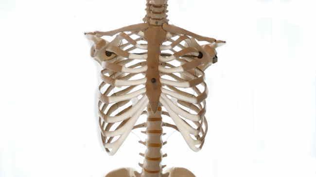 前方から見た胸郭