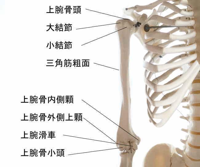肘関節を作る上腕骨