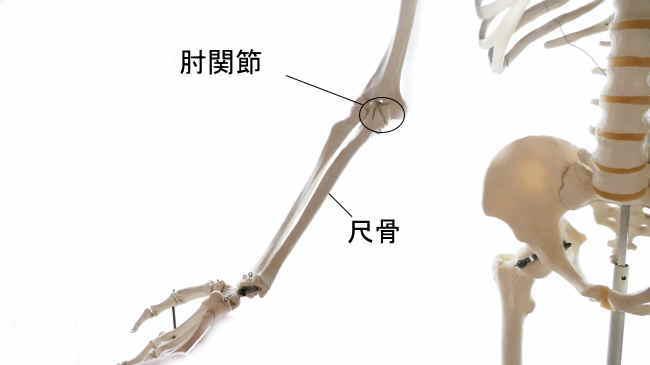 肘関節を形成する尺骨
