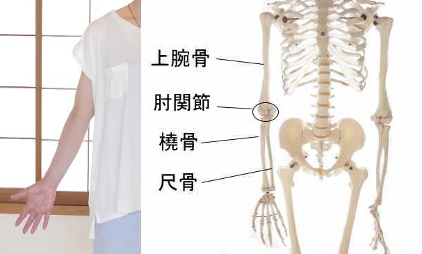 前方から見た肘関節