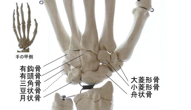 手の甲側から見た手根骨