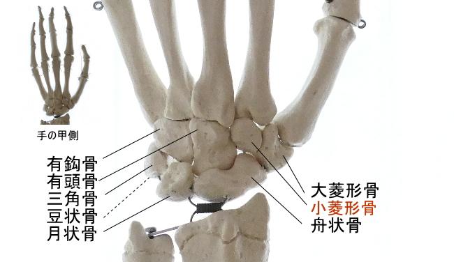 手の甲側から見た小菱形骨
