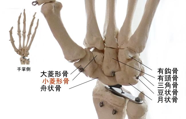 手掌側からみた小菱形骨