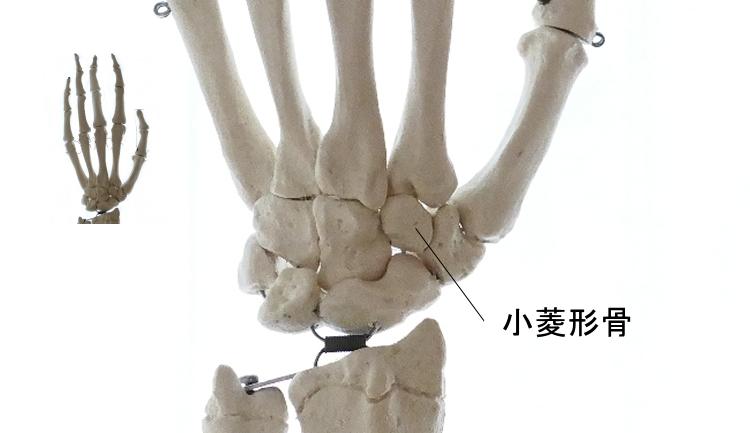 手根骨の一つ、小菱形骨