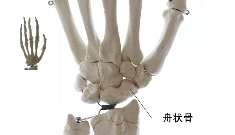 手の舟状骨