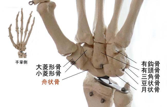 手掌側から見た舟状骨