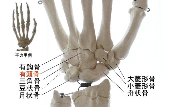 手掌側から見た有頭骨