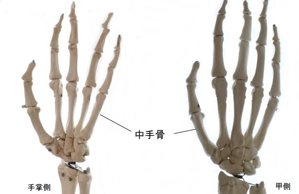 手根中手関節を構成する中手骨