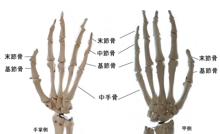 手のDIP関節を構成する指骨