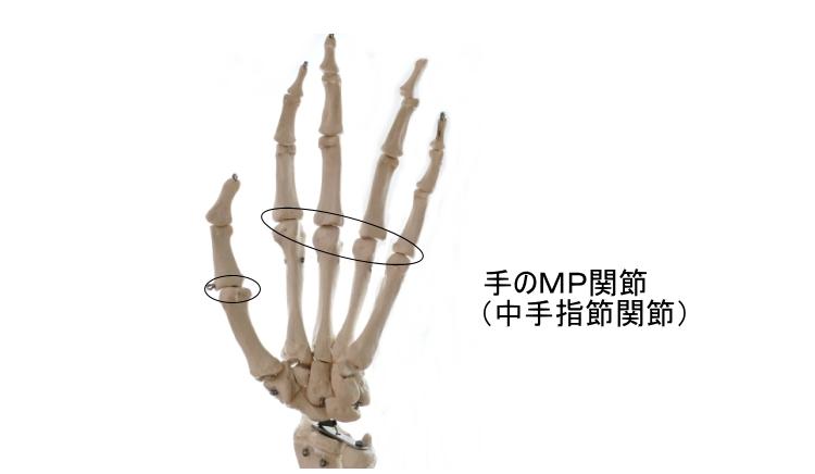 手のMP関節(中手指節関節)