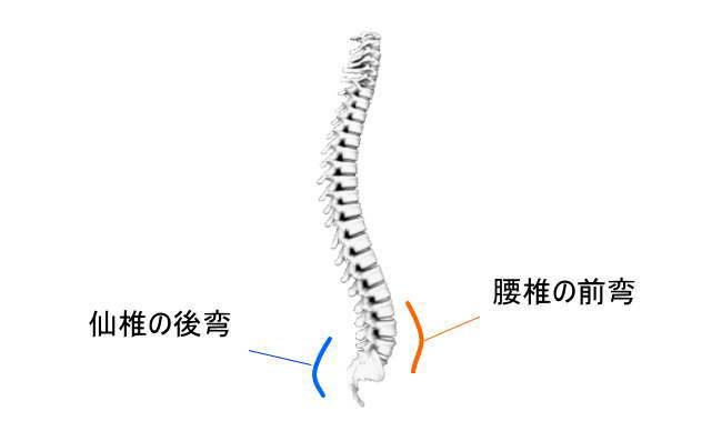 腰椎の生理的湾曲