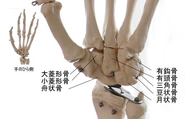 手のひら側から見た手根骨