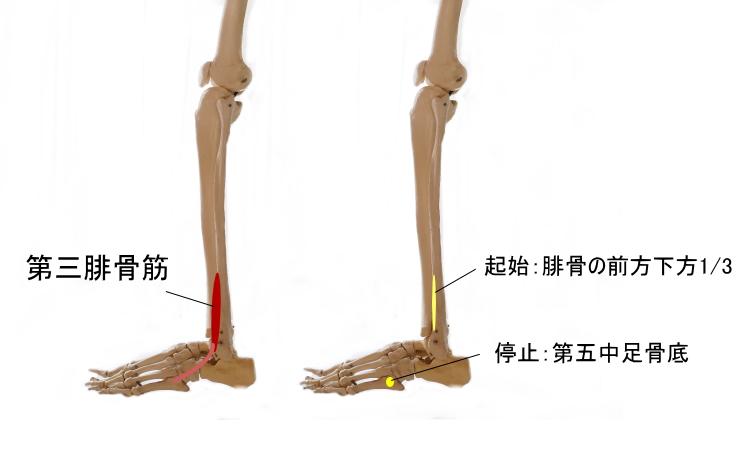 すねの筋肉、第三腓骨筋