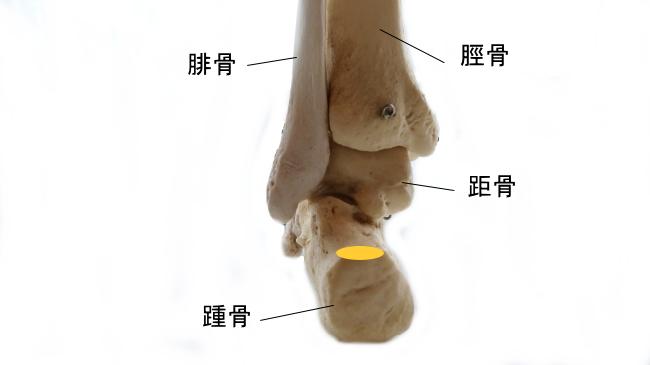 ヒラメ筋の停止部