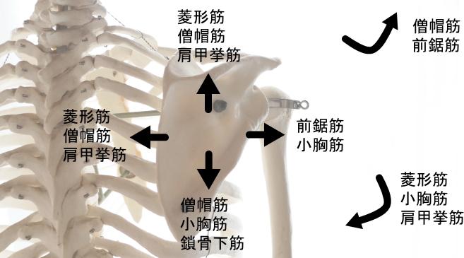 肩甲骨を外転させる筋肉