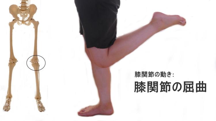 膝関節の屈曲の動きと筋肉