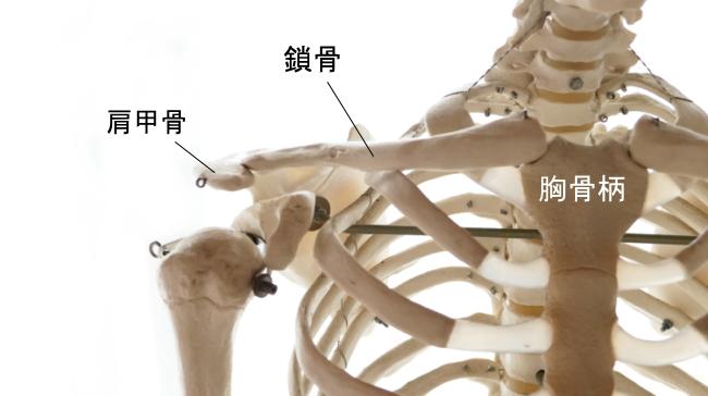 2本の鎖骨