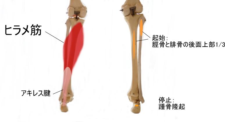 ふくらはぎの筋肉の2層目
