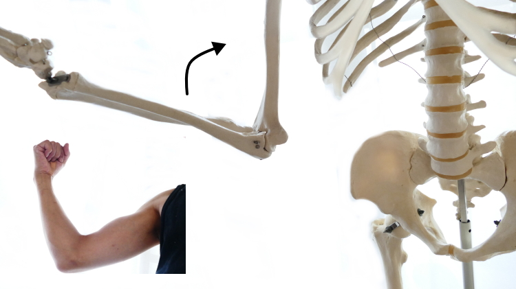 上腕二頭筋と肘関節