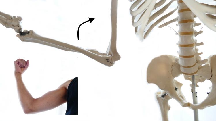 橈側手根屈筋の肘関節の屈曲