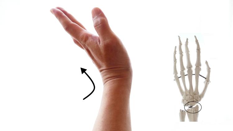 小指伸筋の手首の伸展