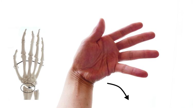 尺側手根屈筋の尺屈