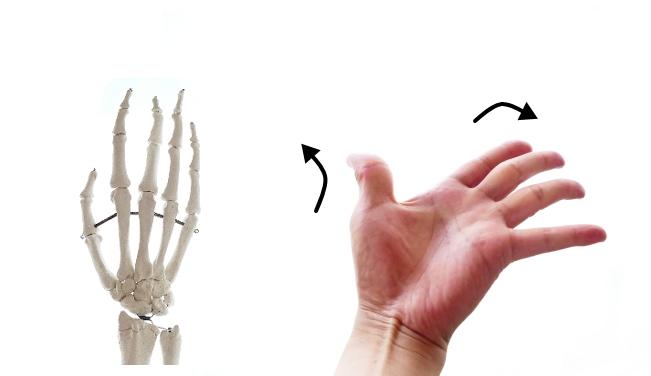 短母指伸筋の働き