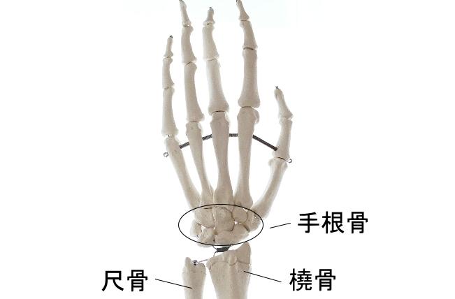 手首を構成する骨