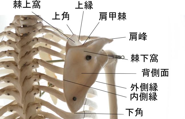 烏口腕筋の起始部