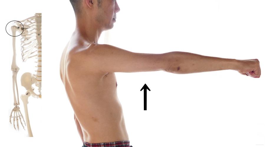 烏口腕筋の働き