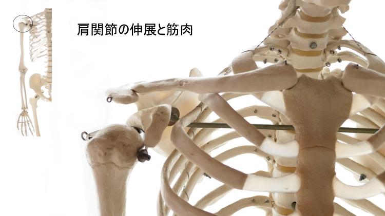 肩関節の伸展