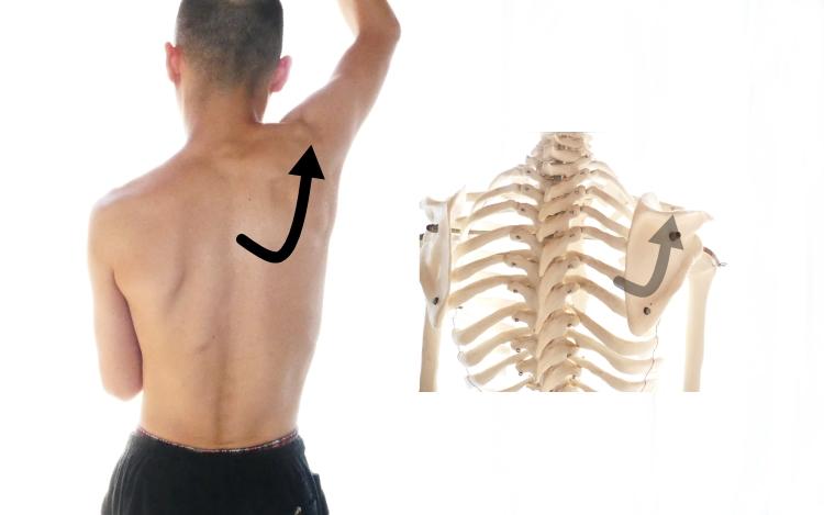 僧帽筋の肩甲骨の上方回旋
