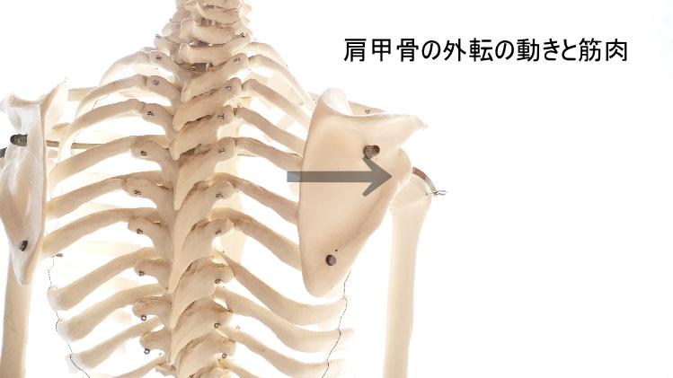 肩甲骨の外転の動きと筋肉