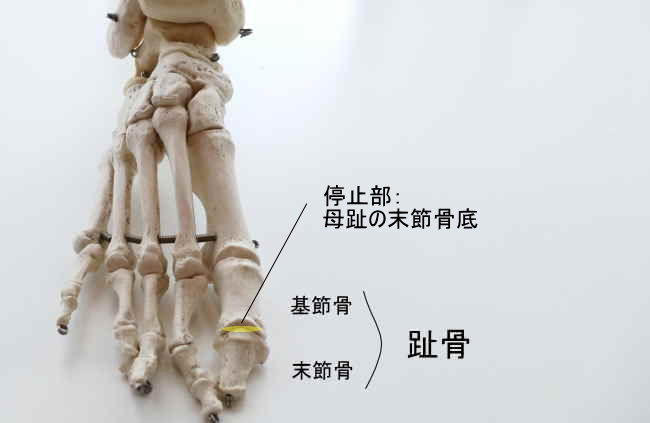 長母趾伸筋の停止部