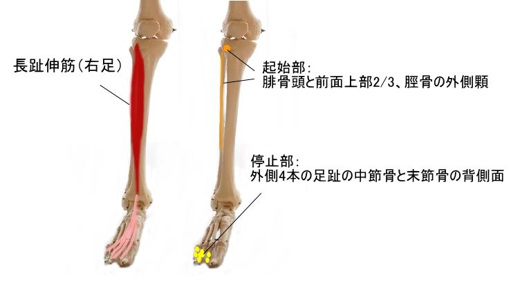 足趾を動かすすねの筋肉
