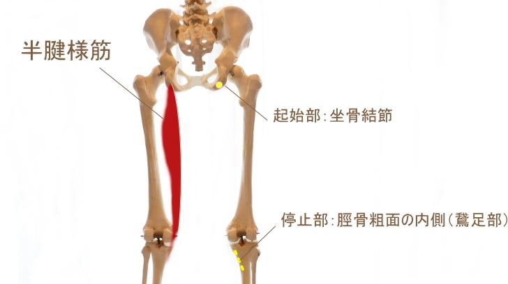 ハムストリングス内側表層の筋肉