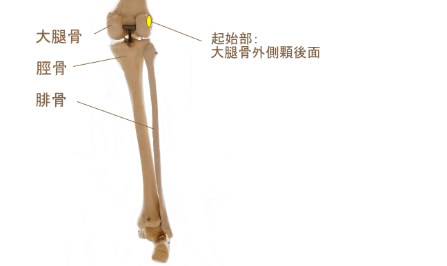 膝窩筋の起始