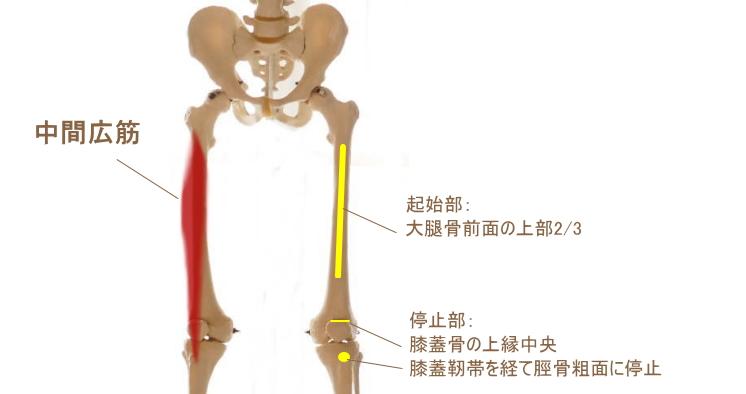 大腿四頭筋の中間