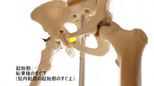 長内転筋の起始部