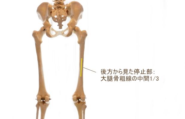 長内転筋の停止部
