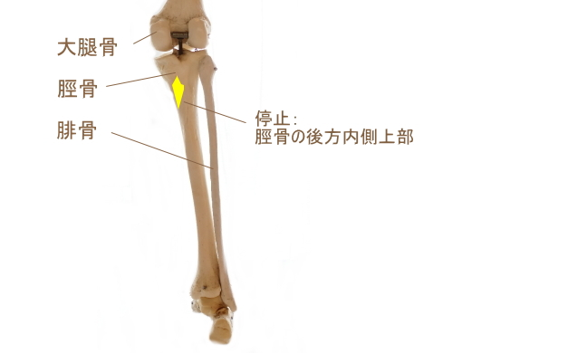 膝窩筋の停止部