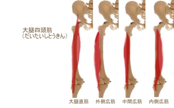 太ももの前面の筋肉