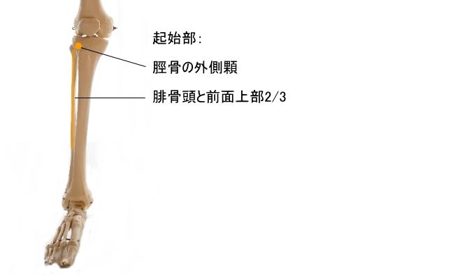 長趾伸筋の起始部