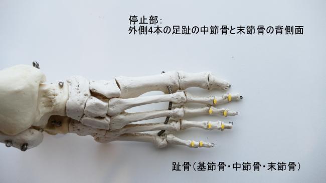 長趾伸筋の停止部