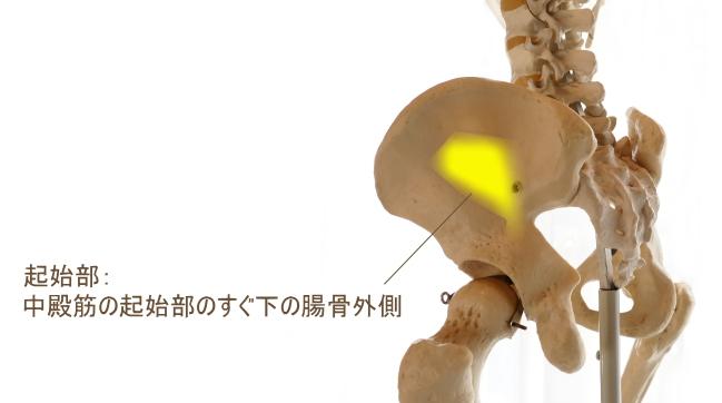 小臀筋の起始部