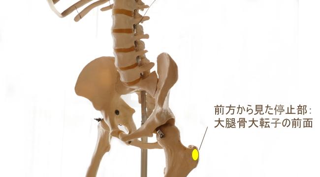 小臀筋の停止部